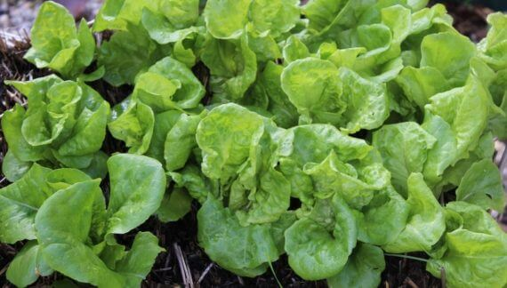Growing lettuce in your strawbale